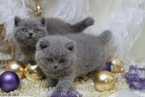 British Shorthair kittens for sale contact me