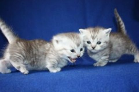 Munchkins Kittens for adoption  6543