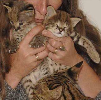 Savannah Kittens available 0009