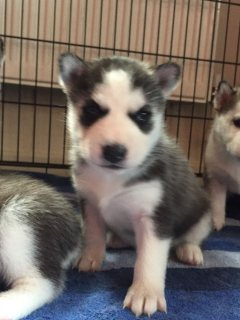 Out Standing Siberian Husky Puppies Available