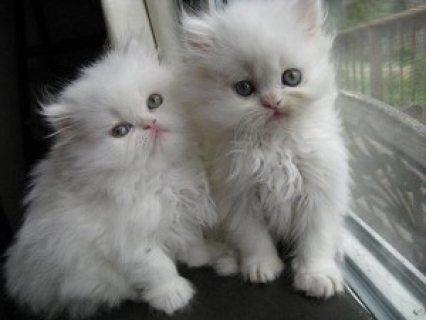 Persian Kittens for adoption......