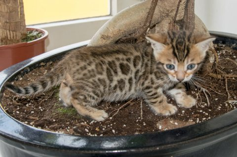 TICA Registered Bengal Kittens Available