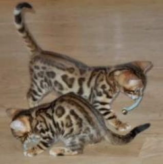 Well Socialized Savannah Kittens Available