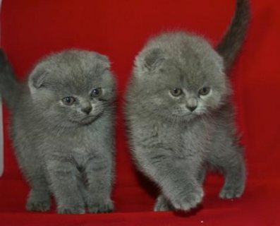 Pedigree Scottish Fold Kittens 987