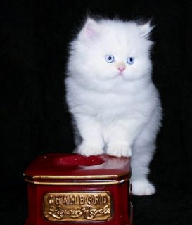 Adorable Persian Kitties for Sale876543