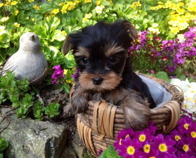 Registered Yorkie Puppies for Adoption 432