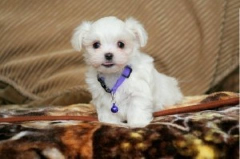 Tiny Teacup Maltese Puppies 6545