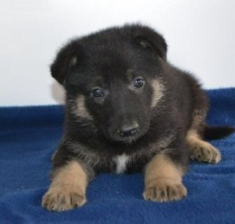 Quality German Shepherd puppies 87651