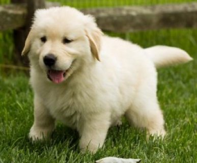 Male and Female Golden Retriever Puppies Available 5432
