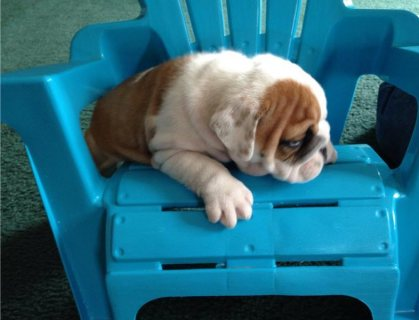 English Bulldog Pups for Adoption