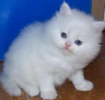 lovely and gorgeous persain kittens