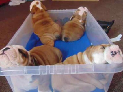 Two Adorable English Bulldog Puppies For Adoption