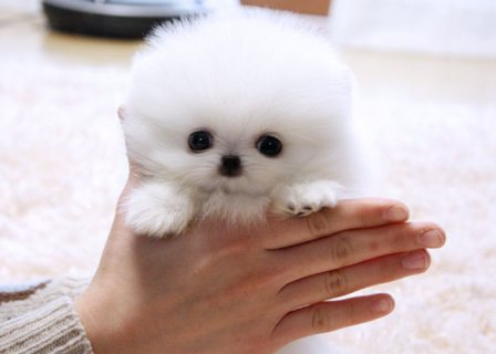 صور Absolutely Adorable Pomeranian Pups 1