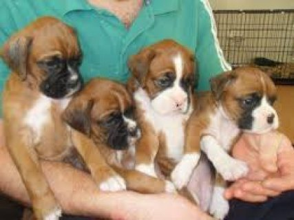 Beautiful male and female Boxer puppies for sale.