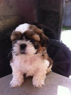 Shih Tzu Puppies for Sale....