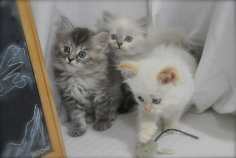 Stunning Two Siberian Kittens ready to go For sale