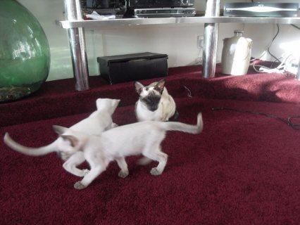 Stunning litter of Siamese Kittens for sale