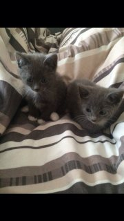 Stunning Well Trained and Hand Raised Russian Blue Kittens for