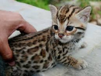 Stunning Savannah male and female kittens for sale