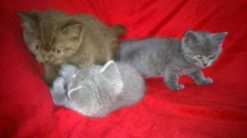 Stunning,British short hair kittens kittens for sale