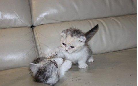 Stunning,scottish fold kittens kittens for sale