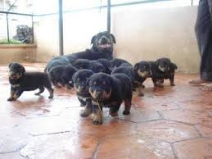 Gorgeous Rottweiler Puppies For Rehoming