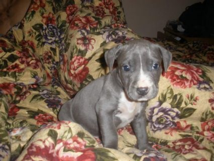 Blue nose American Pitbull puppies for adoption