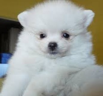 Adorable Full Grown Pomeranian puppies for Adoption.