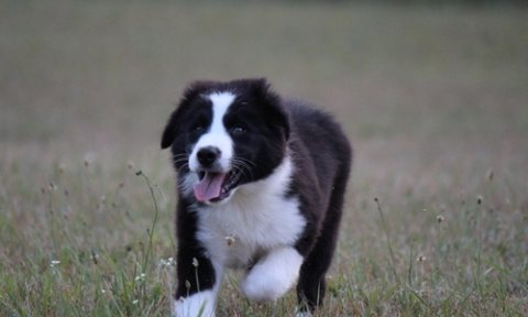 border collier Puppies for Sale