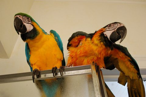 Home raised Blue And Gold Macaw Parrots