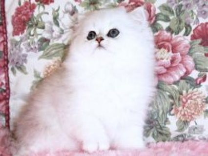 Persian Kittens Available.