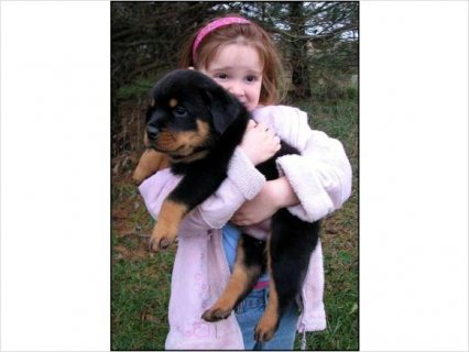 صور  Beautiful German Rottweiler Puppies avail 1