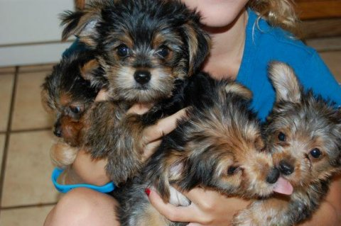صور My husband and I are giving out out lovely babies Yorkie 1