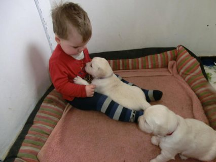 صور Sugar Sweet purebred golden retriever puppies 1