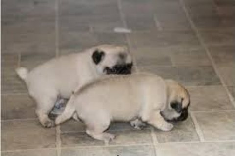 Male and female pug puppies for sale.,.,,.,