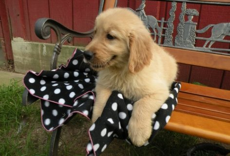 Golden retriever puppies for a new home