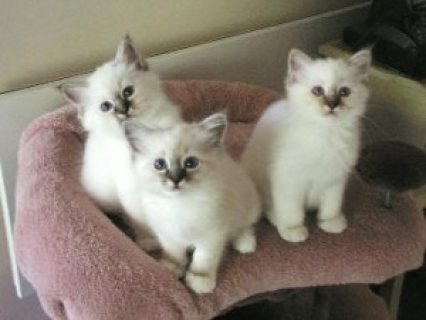 Male and female Birman kittens for sale.,.,.,