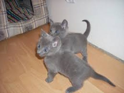 Beautiful male and female Russian Blue kittens for sale.
