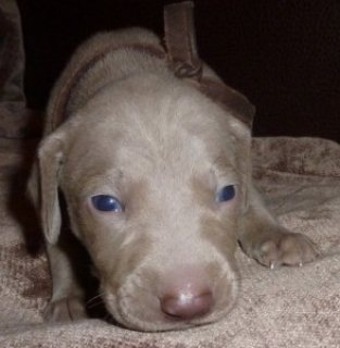 Blue eyes Weimaraner puppies for sale