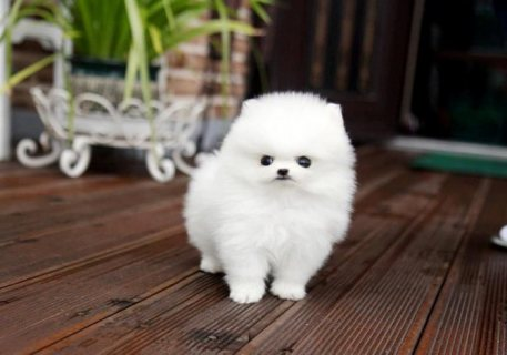 White Pomeranian Puppies For Sale////////////////