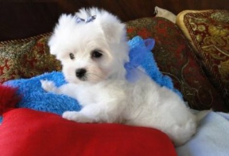 صور Affordable Maltese Pups........./////////////////// 1
