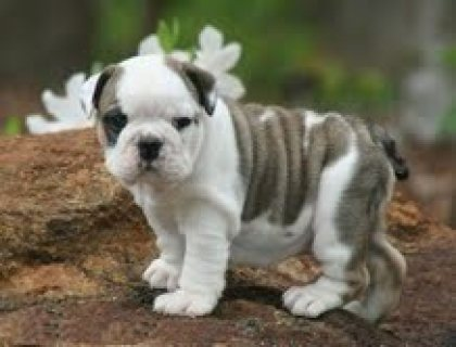 صور Registered English Bulldog............./////////////// 1
