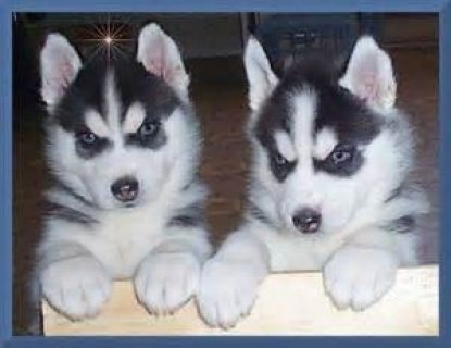 صور Siberian Husky Puppies Blue eyes Ready....///////// 1