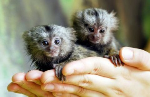 Home Trained marmoset monkeys For Adoption