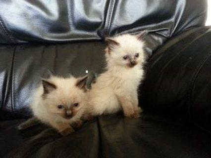 Burmese cross Ragdoll kittens