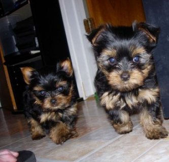 !!!TALENTED SUPER CUTE YORKIE PUPPIES FOR ADOPTION