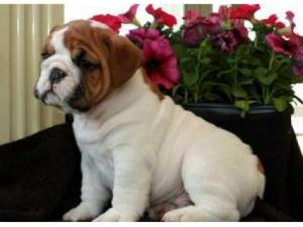 Home Trained English Bulldog Puppies