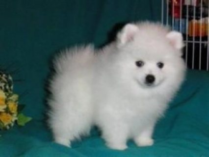 Gorgeous Pomeranian Puppies Available,,,