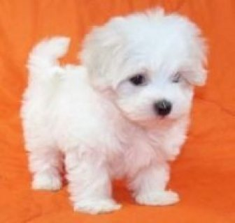 Sweet & Playful Maltese Puppies For Adoption
