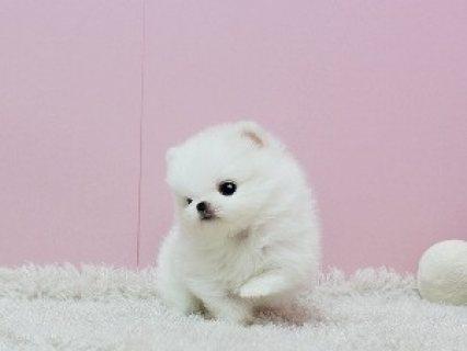 Adorable Pedigree Pomeranian Puppies Ready................//////